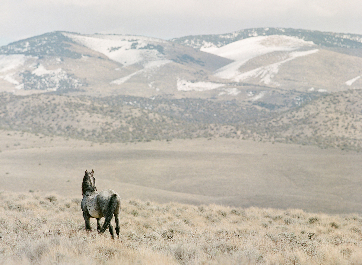 Wild mustang in Northern Nevada fine art print photograph by KT Merry