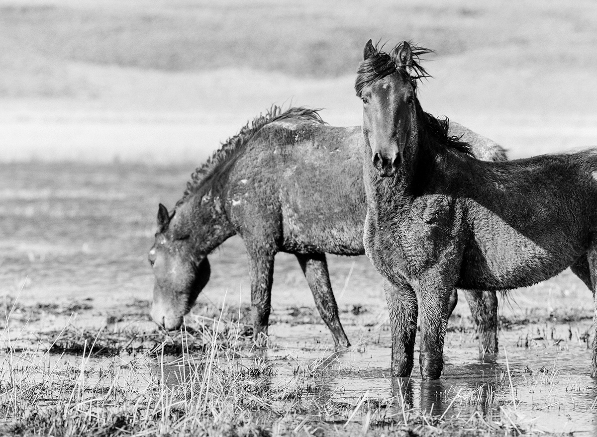 Wild mustangs in Northern Nevada fine art print photograph by KT Merry